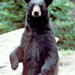 Black Bear - Black Bear - Canadian Rockies