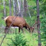 Elk on Pyramid Lake Road -  - Canadian Rockies