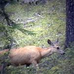 My deer, it is a tourist at Maligne Lake - A deer in the woods near Maligne Lake - Canadian Rockies