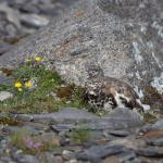 White-tailed Ptarmigan - Can you see the White-tailed Ptarmigan blended into the rocky background? - Canadian Rockies