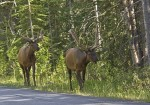 Elk in Banff National Park along Bow Valley Parkway 1A