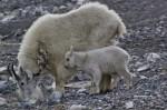 Kootenay National Park mountain goat and kid