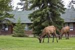 Elk at Jasper Park Lodge