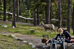 Bighorn sheep ewe at Miette Hot Springs